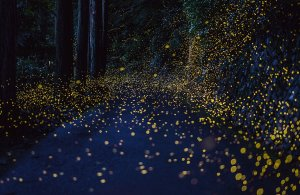 """Japanese Fireflies"", Tsuneaki Hiramatsu"